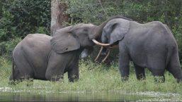 アフリカ・知られざるゾウの秘密